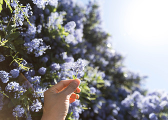Hand holding single blossom in front of purple flowery bush
