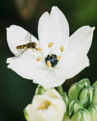 Close up of hoverfly sucking pollen from white Ornithogalum arabicum flower