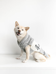 Shiba Inu dog in sweater smiling at camera