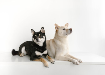 Shiba Inu dog friends sitting next to each other