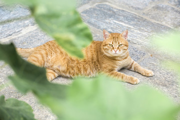 Big red cat looks straight at the camera while laying on stone pavement behind plant's leaves