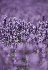 Detail of Lavender flowers in a garden. Norfolk, UK.