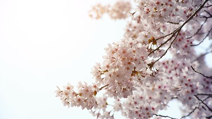Wall Mural - Cherry blossom in spring.