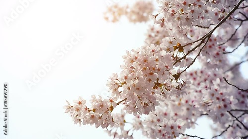 Wall mural Cherry blossom in spring.