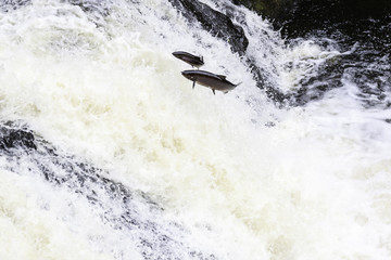 The mighty atlantic salmon travelling to spawning grounds during the summer in the Scottish highland. The salmon in this picture is leaping up the  a very large waterfall called the Falls of Shin