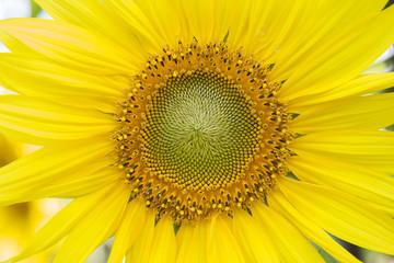 Closeup sunflower pollen, nature texture concept background