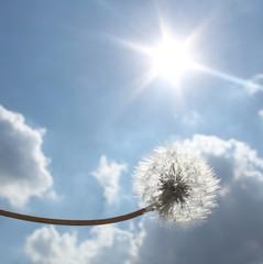 Dandelion in the sun