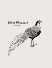 Silver Pheasant (Gallophasis nycthemerus) / vintage illustration