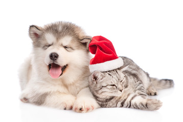 Alaskan malamute puppy lying with tabby cat in red christmas hat. isolated on white background