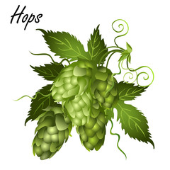 Hop vine (Humulus lupulus) with leaves, tendrils and seed cones. Realistic vector illustration isolated on white background.