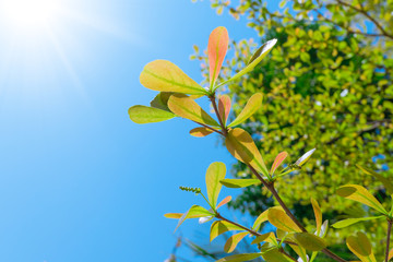 Terminalia ivorensis leaves isolated on blue sky summer season sun background