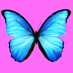 beautiful blue butterfly on a pink background. square cropping