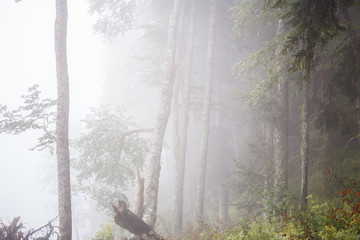 Picture of foggy forest with trees