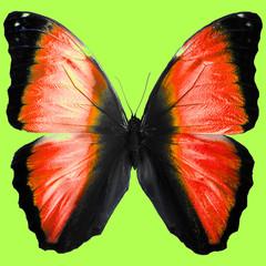 Большая бабочка с яркими черно-красными крыльями в прожилках на зеленом фоне