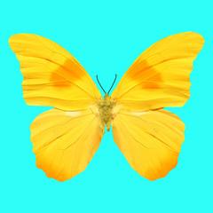 Бабочка крупным планом с большими желтыми крыльями на голубом фоне