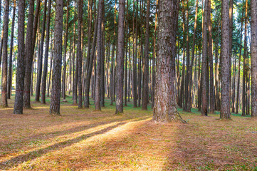 Wall Mural - Row of pine tree in forest.
