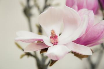 Magnolia flower blooming