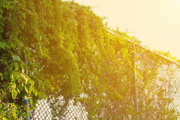 chain link fence covered by climbing vines
