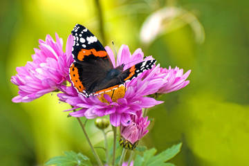 Beautiful large butterfly Admiral on lilac flowers of chrysanthemum