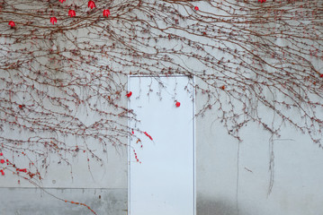 red  creeper maple on wall and white door ,beautiful background,valentine 's day