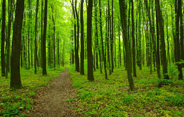 Green forest and path