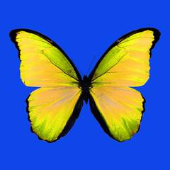 Красивая бабочка с большими желто-зелеными  крыльями в черных прожилках на синим фоне