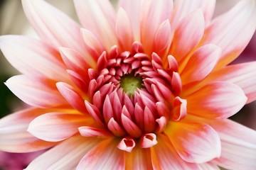 Fotobehang Dahlia Close up of beautiful orange Dahlia flower