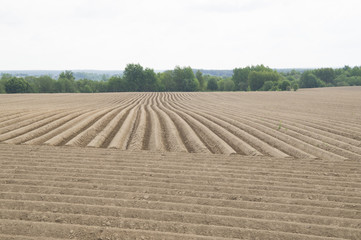 Сельское хозяйство. Прямые ряды картофельного поля