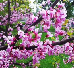Flowers of red plum. Spring blooms red plum.