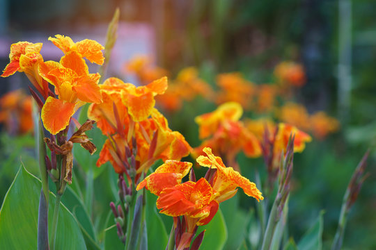 Orange canna lilly field for fresh nature wallpaper and background.