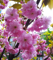 Flowers of a pink cherry. Spring cherry blooms.