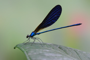 Domesale, Dragonfly