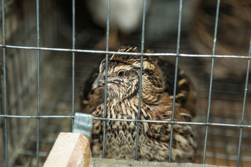 Common Quail in the cage
