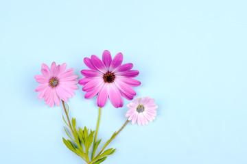 Pink Osteospermum Daisy or Cape Daisy flower