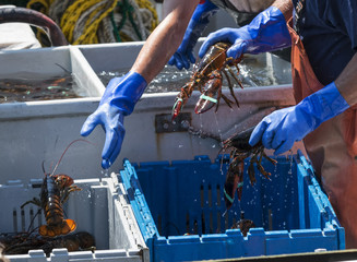 Fishermen throwing live lobsters into bins