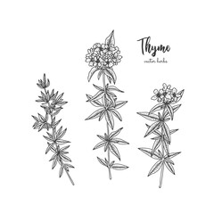 Vintage botanical engraving illustration of thyme. Beauty and spa, cosmetic ingredient. Design elements for promotion, advertising, greeting cards, wrapping paper, cosmetics packaging, labels, flyer.