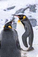 King penguins at Hokkaido Japan