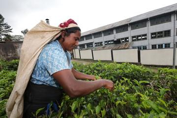 Tee Pflückerin in Sri Lanka