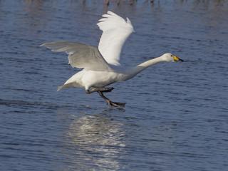 Fotoväggar - Whooper swan, Cygnus cygnus