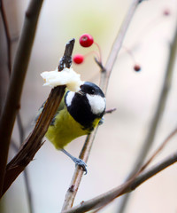 Great tit biting pork lard on the apple tree branch. A bird with a yellow belly and a black and white head eats in the wild. The concept of nutrition in the animal world. Vertical image.