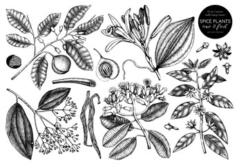 Vector collection of tonic and spicy plants. Hand drawn spices illustrations . Vintage set of aromatic elements. Sketched flowers, leaves, seeds, fruits, nuts, beans.