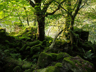 sunlight through trees in a forest with vibrant green leaves and scattered moss covered boulders in shadow with ferns