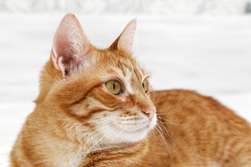 Closeup portrait of ginger cat on light blurred background