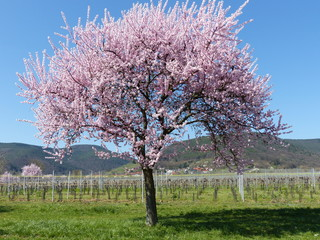 Mandelblüte in Maikammer / Pfalz