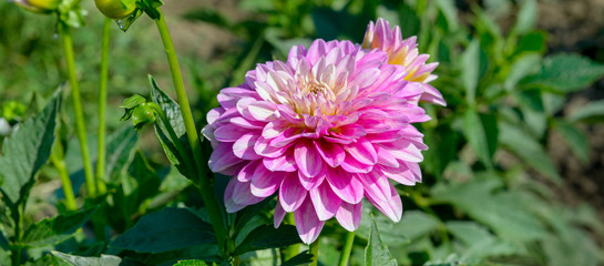Dahlia on background of flowerbeds. Focus on flower. Wide photo.