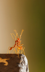 Red ant dancing with blur background..
