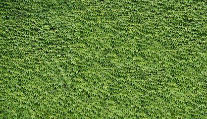 Fassade mit grünen wilden Weinblättern überwachsen