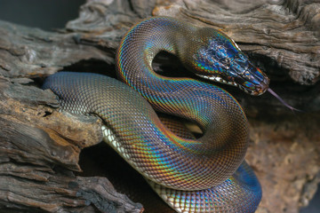 Black beauty snake with colorful scale from Papua New Guinea using tongue find suspicious in natural background. White lipped python (Leiopython albertisii) show S curve and rainbow spectrum on body