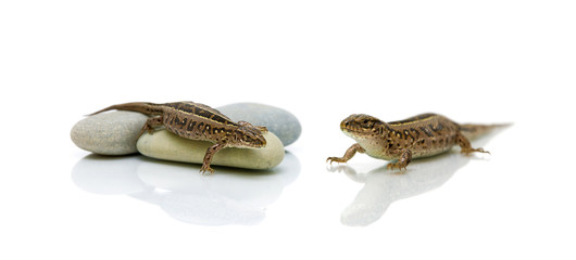lizard on white background with a reflection