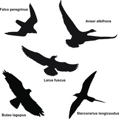 Silhouettes of some northern birds found in the tundra of the Yamal Peninsula